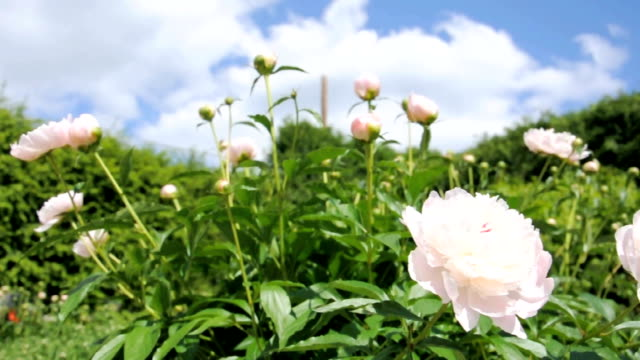Peony Blowing in Wind
