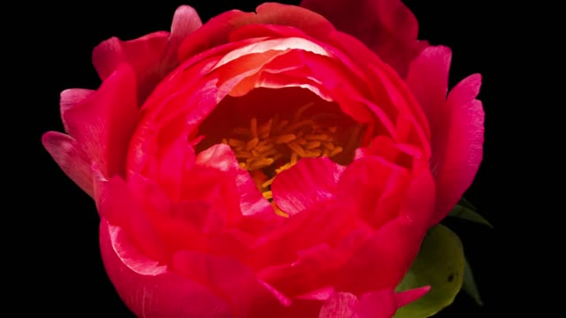 peony - blossom stock videos & royalty-free footage