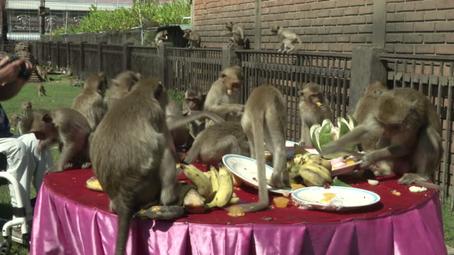 people and monkeys take part in the the monkey buffet festival at phra prang sam yod temple in lopburi thailand it is a unique festival held for the... - buffet stock videos & royalty-free footage