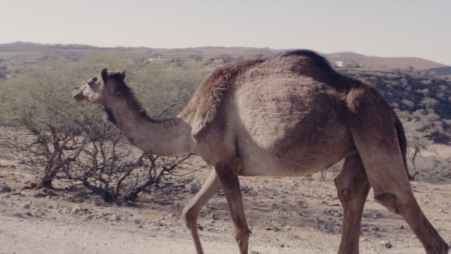 people and places of muscat and salalah, oman - camel stock videos & royalty-free footage