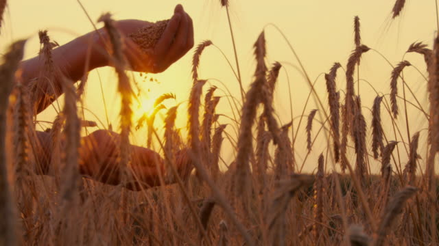 hd slow-motion: people and wheat - ear of wheat stock videos and b-roll footage