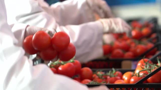 vídeos de stock e filmes b-roll de people are working in the tomato production factory - agricultura