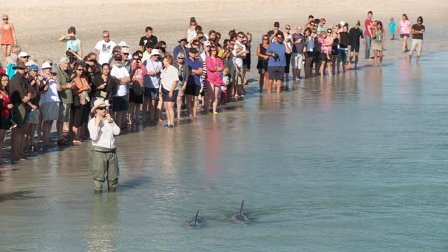 WS People at Monkey Mia shore while bottlenose dolphins swimming / Shark Bay, Western Australia, Australia