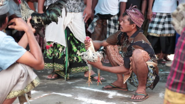 MS People at rooster fighting in Typical cerimony / Bali, Indonesia