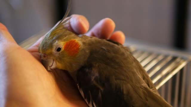 vidéos et rushes de people caring bird cocktail - propriétaire d'animal de compagnie
