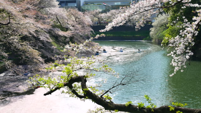 people celebrating the cherry blossom at japan - kanto region stock videos and b-roll footage