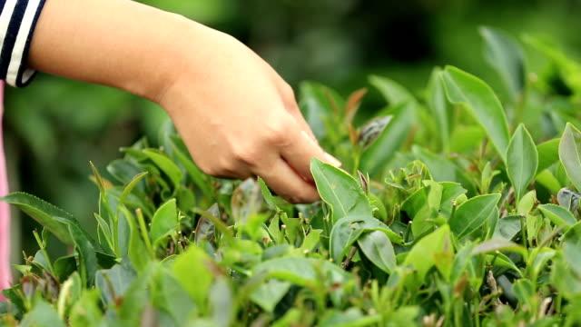 Andere Personen besuchen, grüner Tee Strauch, Slow-motion
