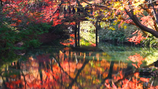 people cross the yamakagebashi bridge over the pond, which is surrounded by autumn leaves trees in rikugien garden (traditional japanese garden) bunkyo-ku tokyo on december 03 2017. people and autumn trees reflect to pond. - formal garden stock videos & royalty-free footage