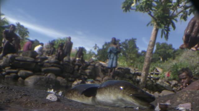 people feed tame eels (anguilla megastoma) in pool, solomon islands - menschliche gliedmaßen stock-videos und b-roll-filmmaterial