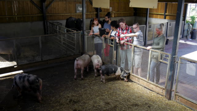 vídeos de stock e filmes b-roll de people feeding pigs at farm - porco