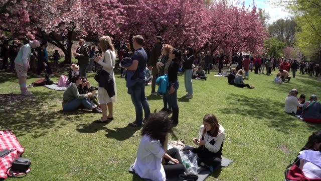 people gather under the fully bloomed cherry blossom trees at brooklyn botanical garden in new york, united states on april 27, 2019. - cherry blossom stock videos & royalty-free footage