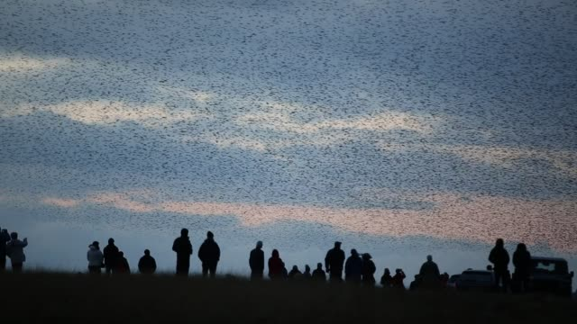 people gathered to watch a murmuration. flocks of starlings performing aerial balets as they fly over their roost site near sunbiggin tarn in cumbria, uk. - abundance stock videos & royalty-free footage