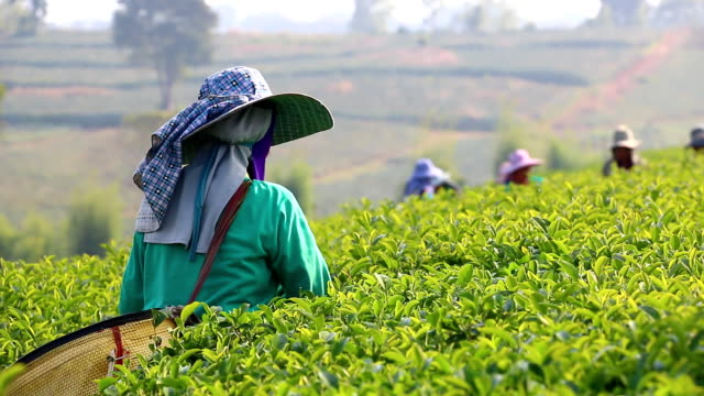 people harvest green tea bush - plantation stock videos & royalty-free footage