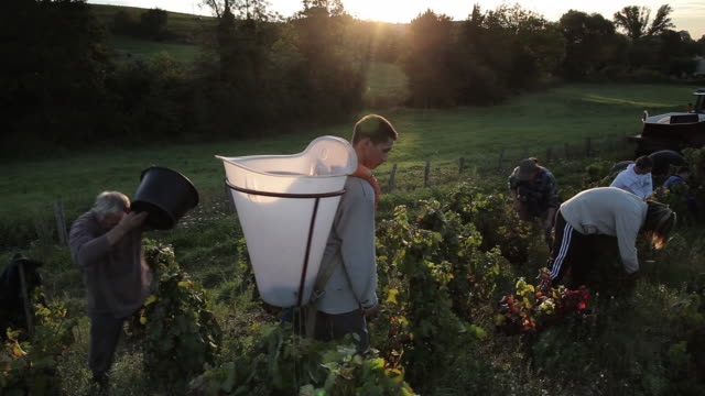 people harvesting grapes
