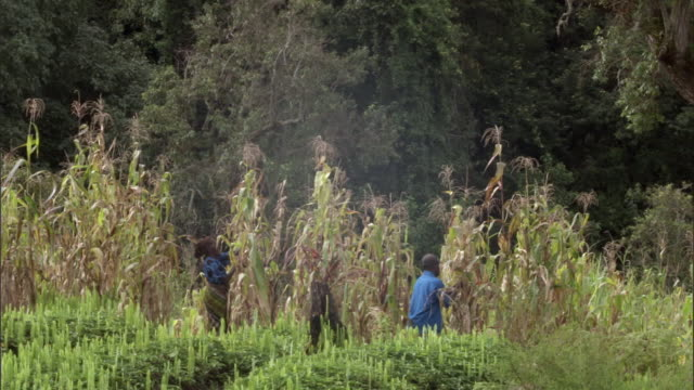 people harvesting maize (zea mays) crop, mount rungwe, tanzania - corn cob stock videos & royalty-free footage