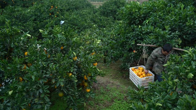 stockvideo's en b-roll-footage met people harvesting navel oranges at an orchard on december 4, 2020 in ganzhou, jiangxi province of china. - navel