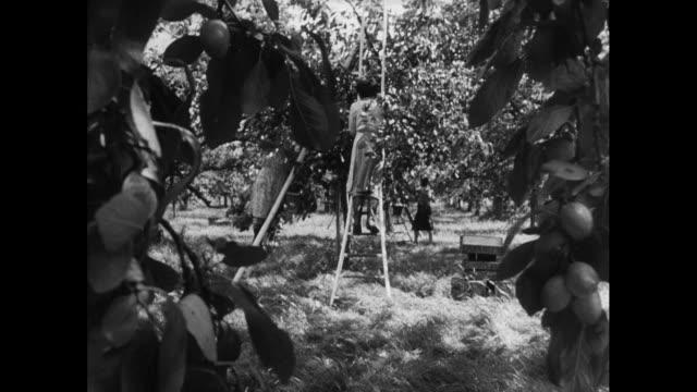 people harvesting plums; 1952 - plum stock videos & royalty-free footage