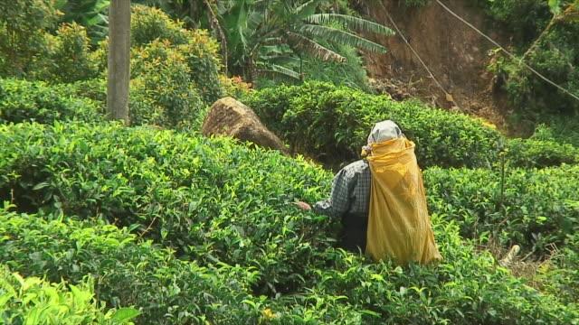 ms zo ws people harvesting tea leaves on hill, ella, sri lanka - sri lankan culture stock videos & royalty-free footage