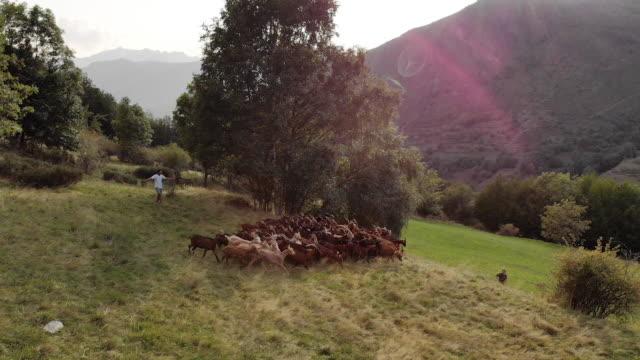 People herd goats in Spain countryside, aerial