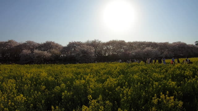 people in flower field, pan left - satoyama scenery stock videos & royalty-free footage