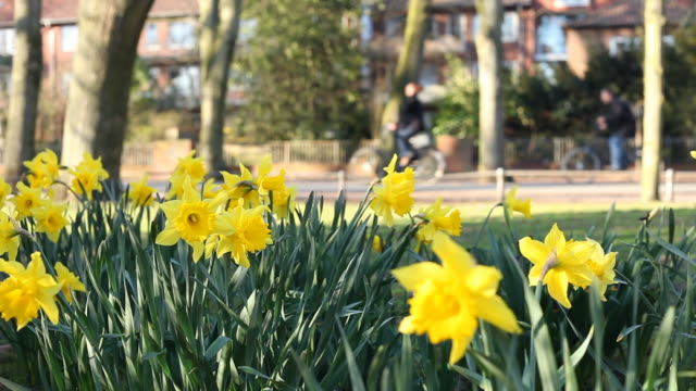 people in the spring - daffodils - differential focus stock videos and b-roll footage
