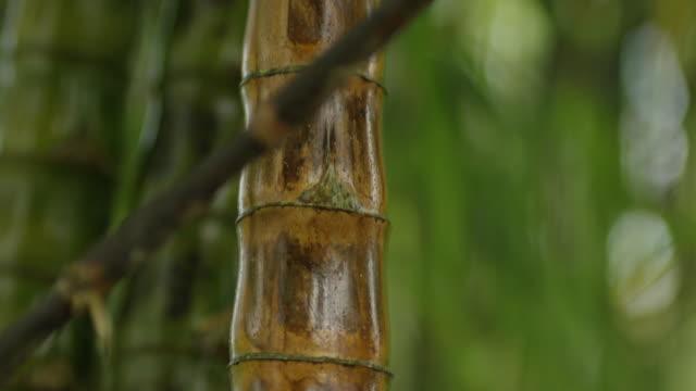 vídeos de stock e filmes b-roll de people of naples - bamboo plant