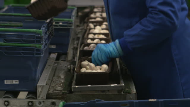 people pack mushrooms on farm, uk - one mid adult woman only stock videos & royalty-free footage