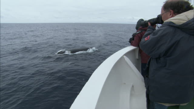 cu, people photographing bowhead whale (balaena mysticetus) swimming in ocean from ship, antarctica - tourist stock videos & royalty-free footage