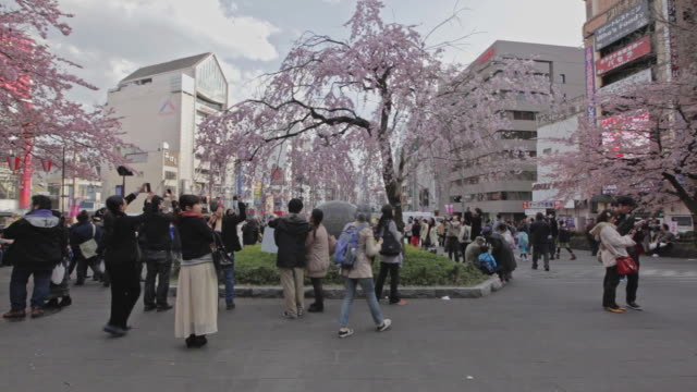 people photographing cherry blossom tree in ueno park - cherry blossom stock videos & royalty-free footage