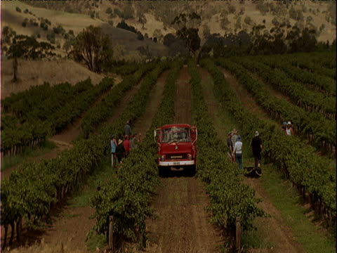 People picking grapes in vineyard red truck in middle of rows of grapes in center of field South Australia