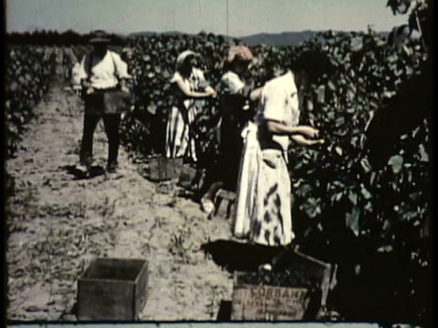 vídeos de stock e filmes b-roll de 1955 montage ws ms cu tu people picking grapes, pears, apples, hops and other fruit, man stacking apples in boxes / new zealand / audio - 1955