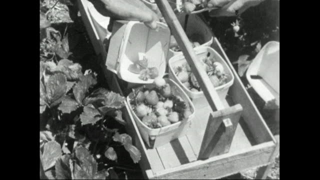 people picking strawberries by hand in field, 1957 - trug stock videos & royalty-free footage