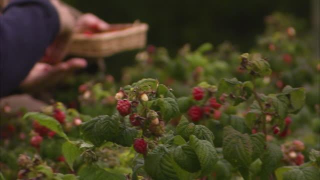 vídeos de stock, filmes e b-roll de people picking up berries from its stem - framboesa