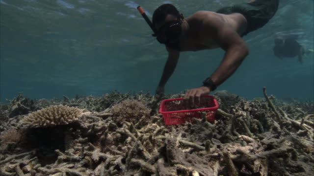 people plant coral (scleractinia) transplants onto damaged reef, fiji - environmental conservation stock videos & royalty-free footage