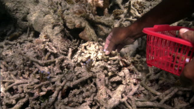 people plant coral (scleractinia) transplants onto damaged reef, fiji - pacific islands stock videos & royalty-free footage