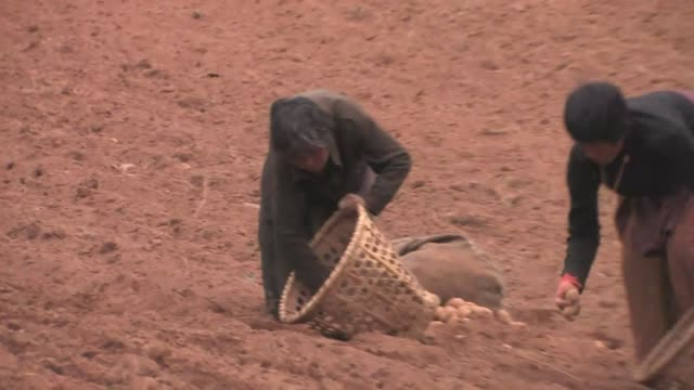 people planting potatoes in a plowed field. (editorial use only) - korb stock-videos und b-roll-filmmaterial