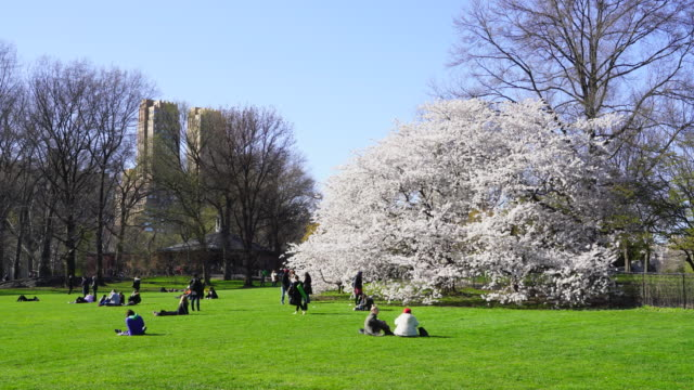 stockvideo's en b-roll-footage met people relax at the sheep meadow around the full-bloomed cherry blossoms trees at central park new york ny usa on apr. 21 2018. - twijg