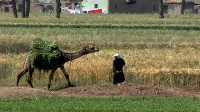 vídeos y material grabado en eventos de stock de ws people riding camels and donkeys, fayoum, egypt - grupo mediano de animales