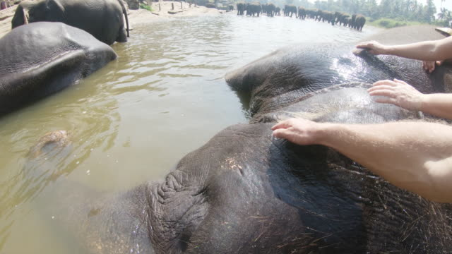 ms people rubbing water on elephant laying in water,sri lanka - care stock videos & royalty-free footage