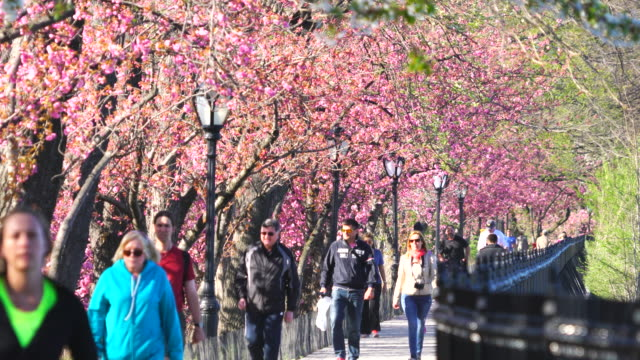 people run and walk, along the rows of cherry blossoms trees on the stephanie and fred shuman running track around the reservoir in central park new york. - central park reservoir stock videos and b-roll footage