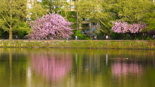 people run and walk, along the rows of cherry blossoms trees on the stephanie and fred shuman running track in central park new york. cherry blossoms trees reflect to central park reservoir in new york. - central park reservoir stock videos and b-roll footage