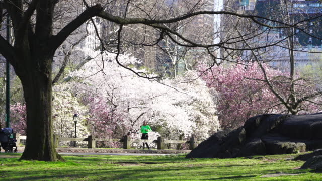 stockvideo's en b-roll-footage met people run on the park road at front of cherry blossoms trees and midtown manhattan skyscrapers at central park new york ny usa on apr. 21 2018. - twijg