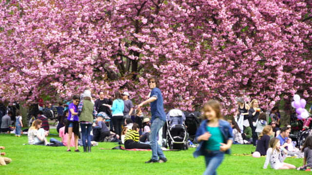 people sit down at front of cherry blossoms trees at the great lawn and enjoy flower viewing in central park new york. - frühling stock-videos und b-roll-filmmaterial