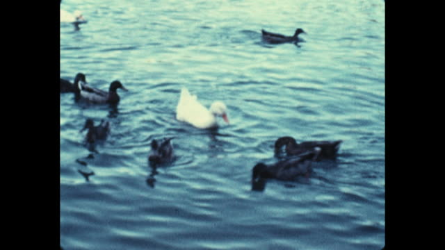 people standing at the edge of a lake watching ducks shot of ducks swimming in the water - aquatic organism stock videos & royalty-free footage