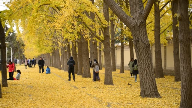 people takes photos of gingko leafs at diaoyutai state guesthouse on november 15 2019 in beijing china - ginkgo stock videos & royalty-free footage