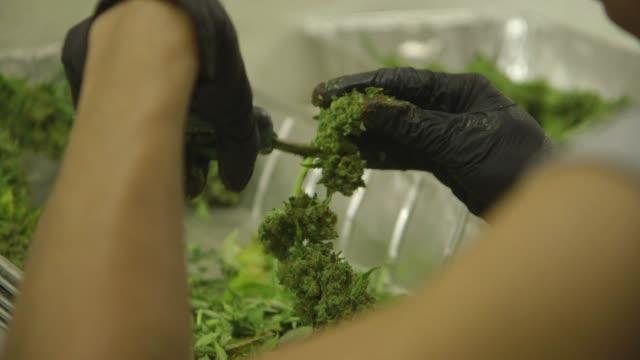 vídeos y material grabado en eventos de stock de people trimming marijuana, close-ups montage - marihuana hierba de cannabis