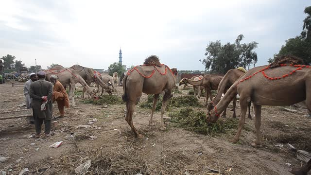 people visit a cattle market to buy animals for the upcoming muslim eid al-adha or feast of sacrifice holiday, in peshawar, pakistan, tuesday, july... - four animals stock videos & royalty-free footage