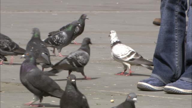 people walk among pigeons in trafalgar square, london, uk - menschliche gliedmaßen stock-videos und b-roll-filmmaterial