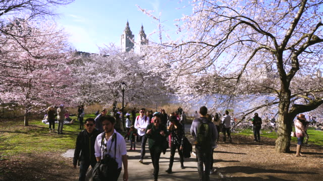 people walk down the pathway, which is surrounded by full-bloomed cherry blossoms in central park new york city. the san remo twin tower can be seen at central park west historic district in behind. - remo stock videos and b-roll footage