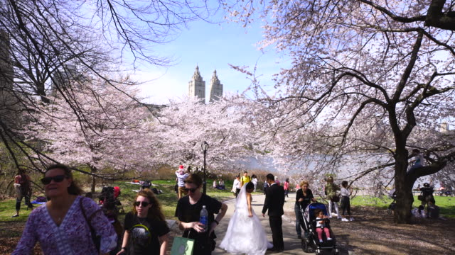 people walk down the pathway, which is surrounded by full-bloomed cherry blossoms in central park new york city.the san remo twin tower can be seen at central park west historic district in behind. - remo stock videos and b-roll footage